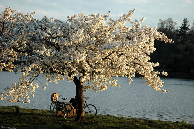 Bike-n-Cherry-Blos-2