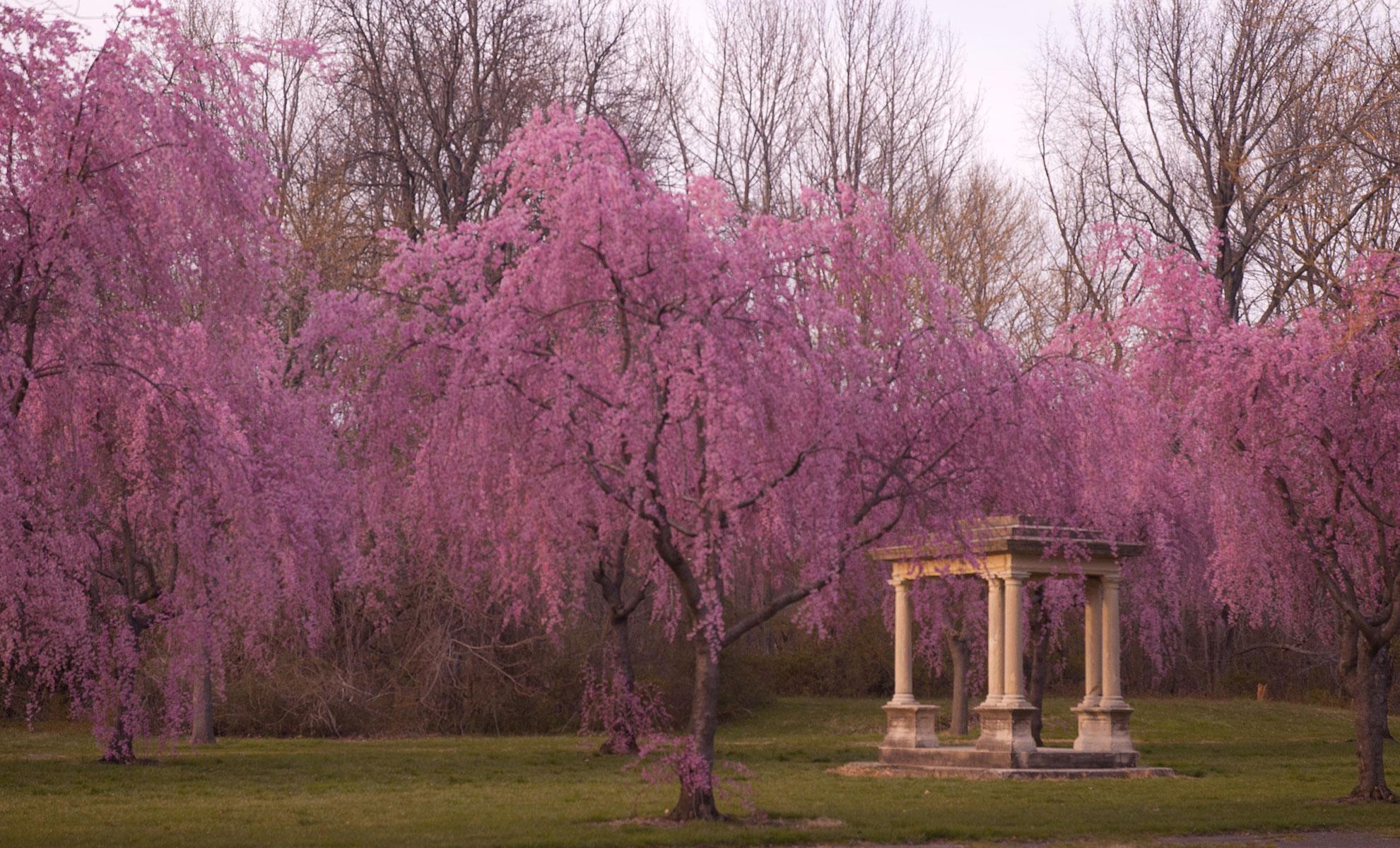 Mann-Cherry-Trees-